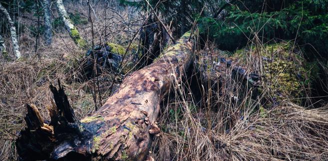 W nadleśnictwie Hajnówka planowane jest w tym roku posadzenie 200 tys. drzew na obszarze ok. 26,5 ha
