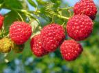 Polska hegemonia na rynku mrożonych owoców. Producenci w ofensywie